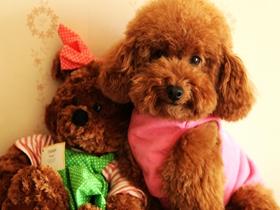 泰迪犬的图片