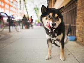 西巴犬图片