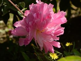 粉色和白色的芍药花图片