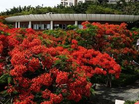 火红的凤凰花图片
