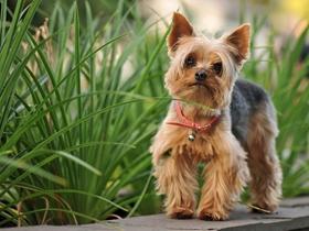 约克夏梗犬图片
