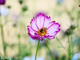 格桑花和蜜蜂图片