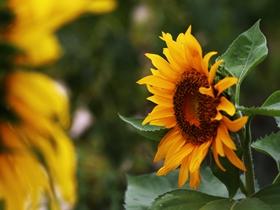 柔光拍摄向日葵图片