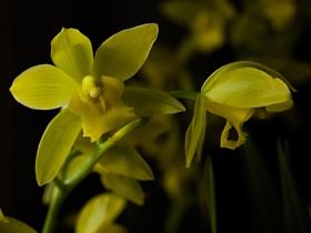 黄色蕙兰图片