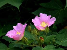 粉色木芙蓉图片