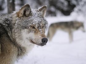 雪地里的狼图片