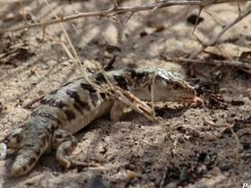 几种北疆蜥蜴