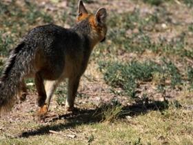 野生狐狸背影