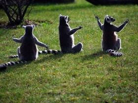 马达加斯加环尾狐猴