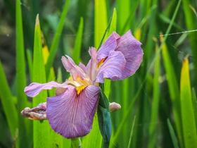菖蒲花的图片