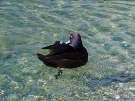 湖边野鸭戏水