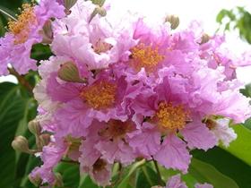 大叶紫薇的图片