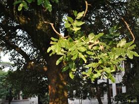 吊瓜树图片