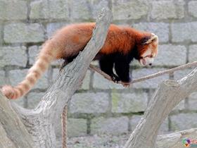 小熊猫的图
