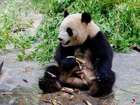 动物园的大熊猫
