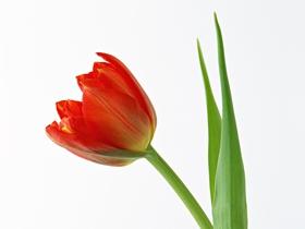 郁金香花枝图片