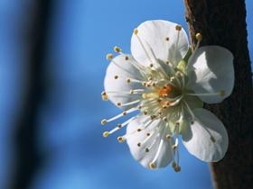 高清桃花图片
