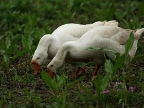 大白鹅图片