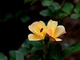 月季花与蜜蜂