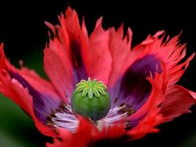 罂粟花蕊图片