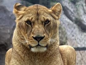 成都非洲狮