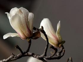 早春玉兰花