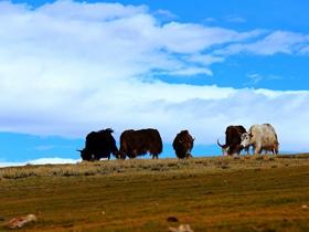 云朵下的牦牛