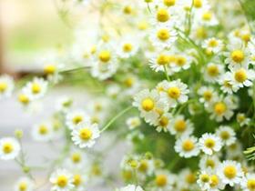 雏菊花图片