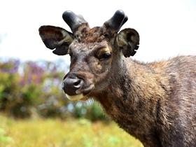 偶遇斯里兰卡野生水鹿