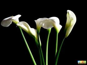 马蹄莲花语