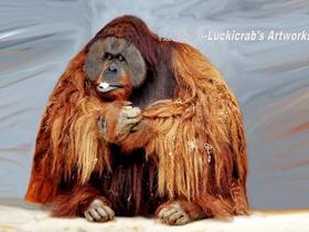 红猩猩图片