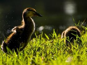 晒太阳的小鸭子