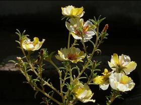 家中常见的太阳花图片