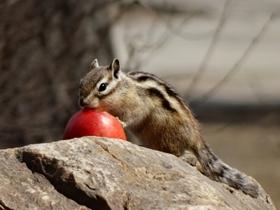 松鼠吃鲜果