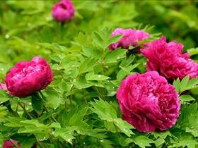 红色牡丹花图片