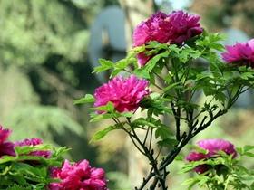 花开富贵牡丹图片