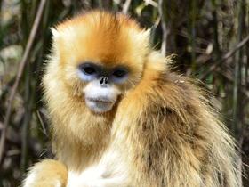 珍贵的金丝猴