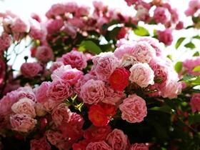 盛开的蔷薇花图片