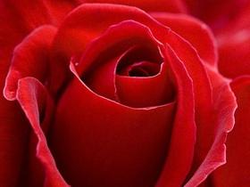 高清近距实拍红玫瑰图片