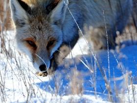 雪山上的狐狸