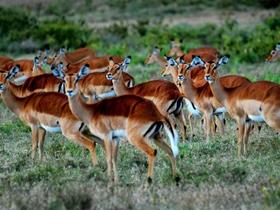 非洲羚羊图片
