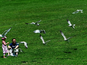 北美银鸽图片