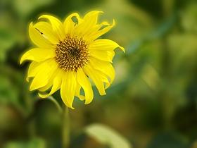 小蜜爱上向日葵