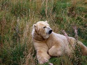 北极熊的图片
