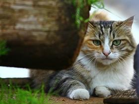 束河客栈的那一只猫
