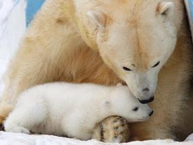 北极熊母子雪中嬉戏
