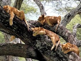狮子扎堆树上小憩