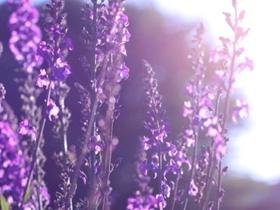 薰衣草花卉图片