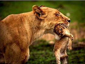 狮子口叼幼子展母性柔情
