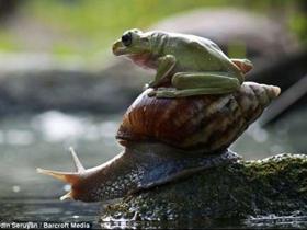 印尼懒青蛙搭蜗牛便车